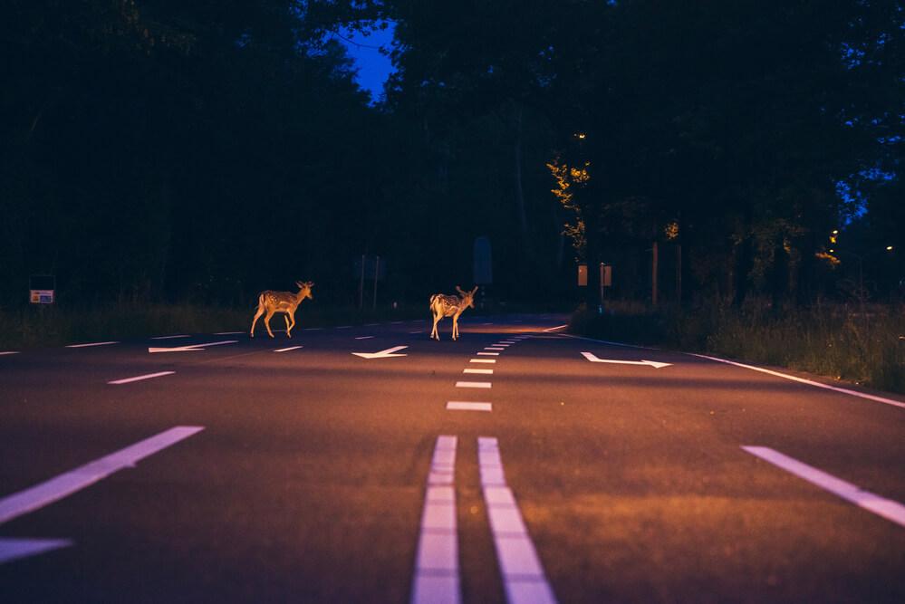 アメリカで運転中に見る鹿
